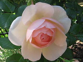 Roses 010