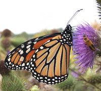 Monarch_butterfly_2