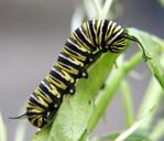 Monarch_caterpillar_2