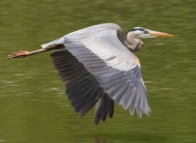 Great_blue_heron_2
