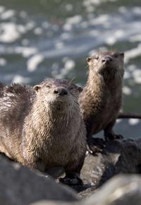 Otters_2