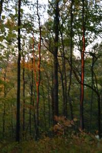 Flame_trees