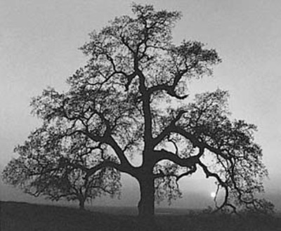 Adams_oak_tree_sunset_city